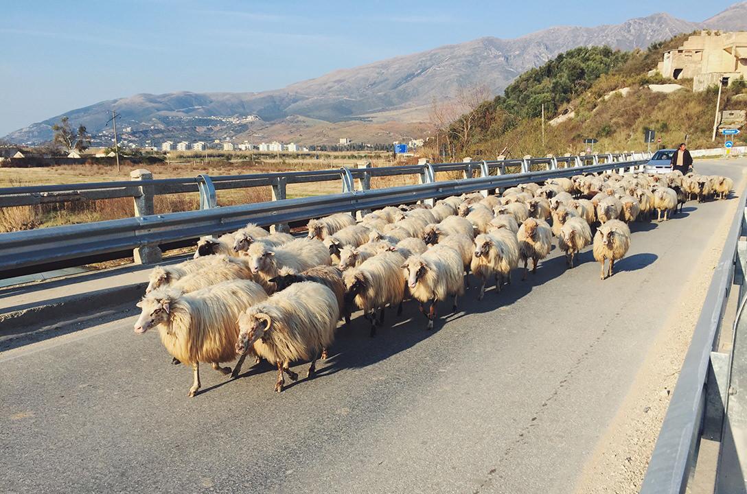 Стадо овец в Албании
