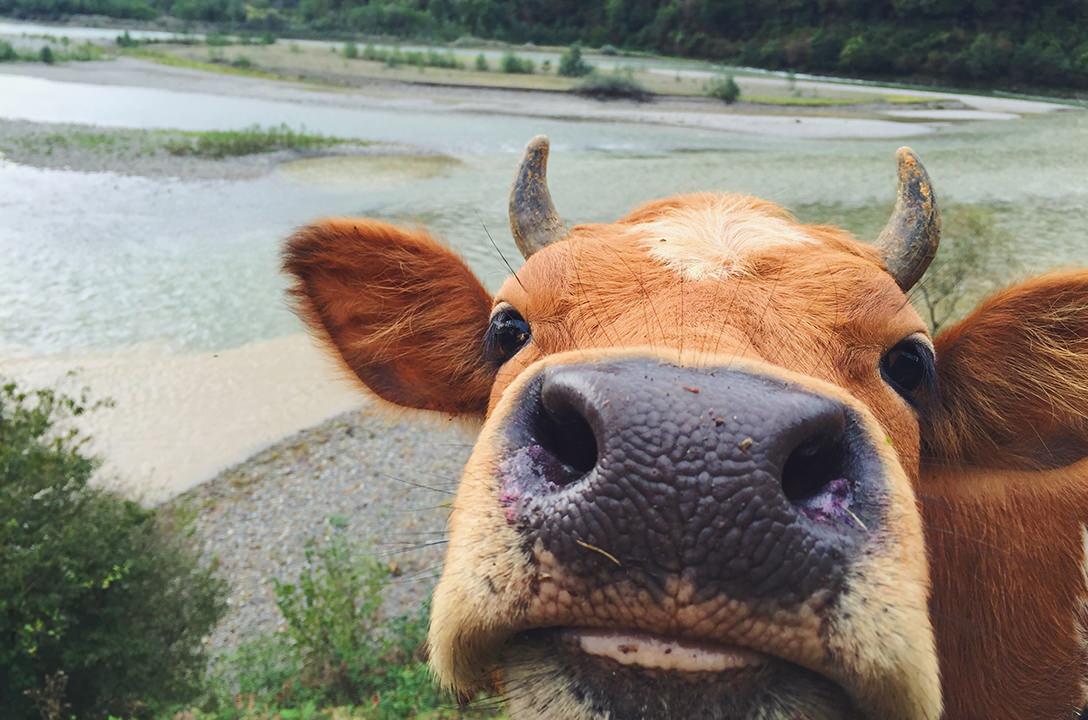 Коровы на дорогах Грузии