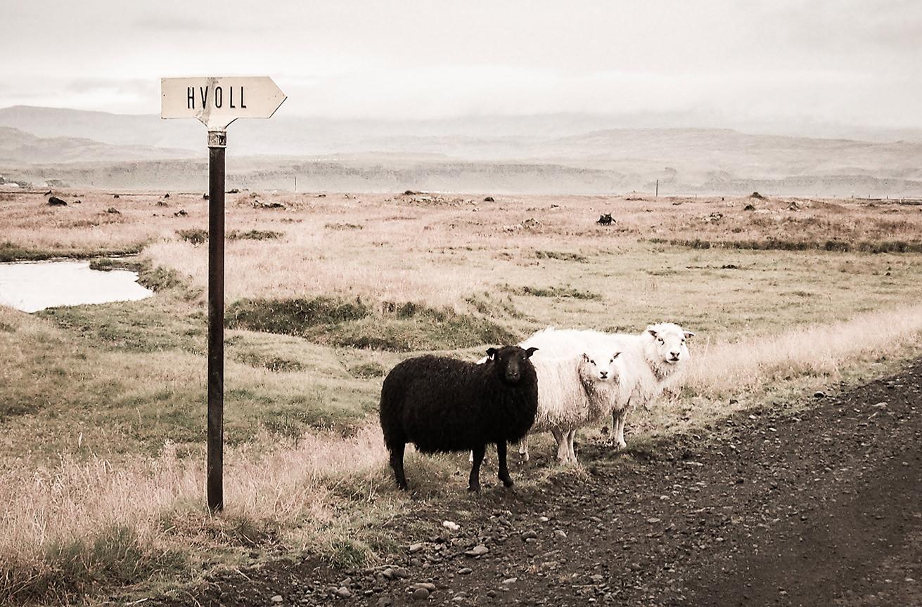 Путешествие на машине. Ирландские овцы