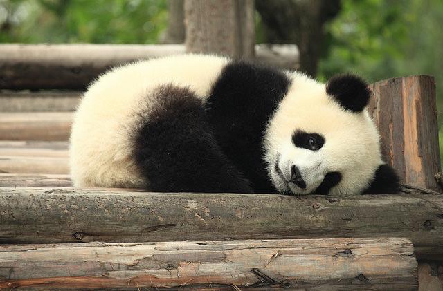 В Китае построят туристический маршрут для поклонников панд