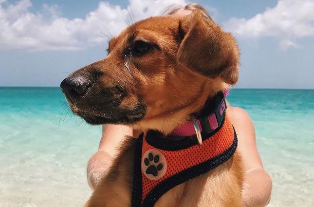 На Антильских островах туристов завлекают прогулками с собаками