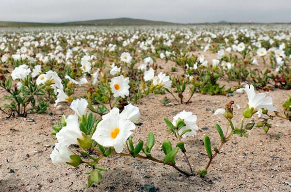 Редкое явление: чилийская пустыня покрылась ковром из цветов