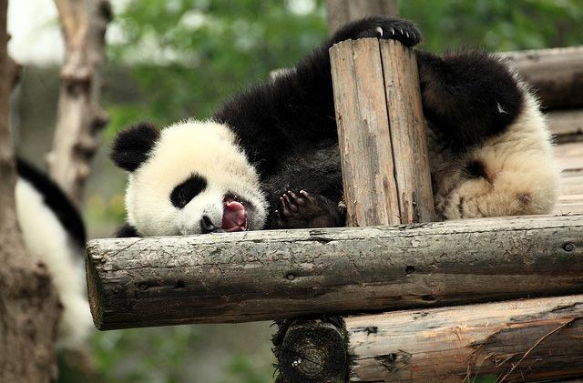 В зоопарке Франции впервые родилась панда