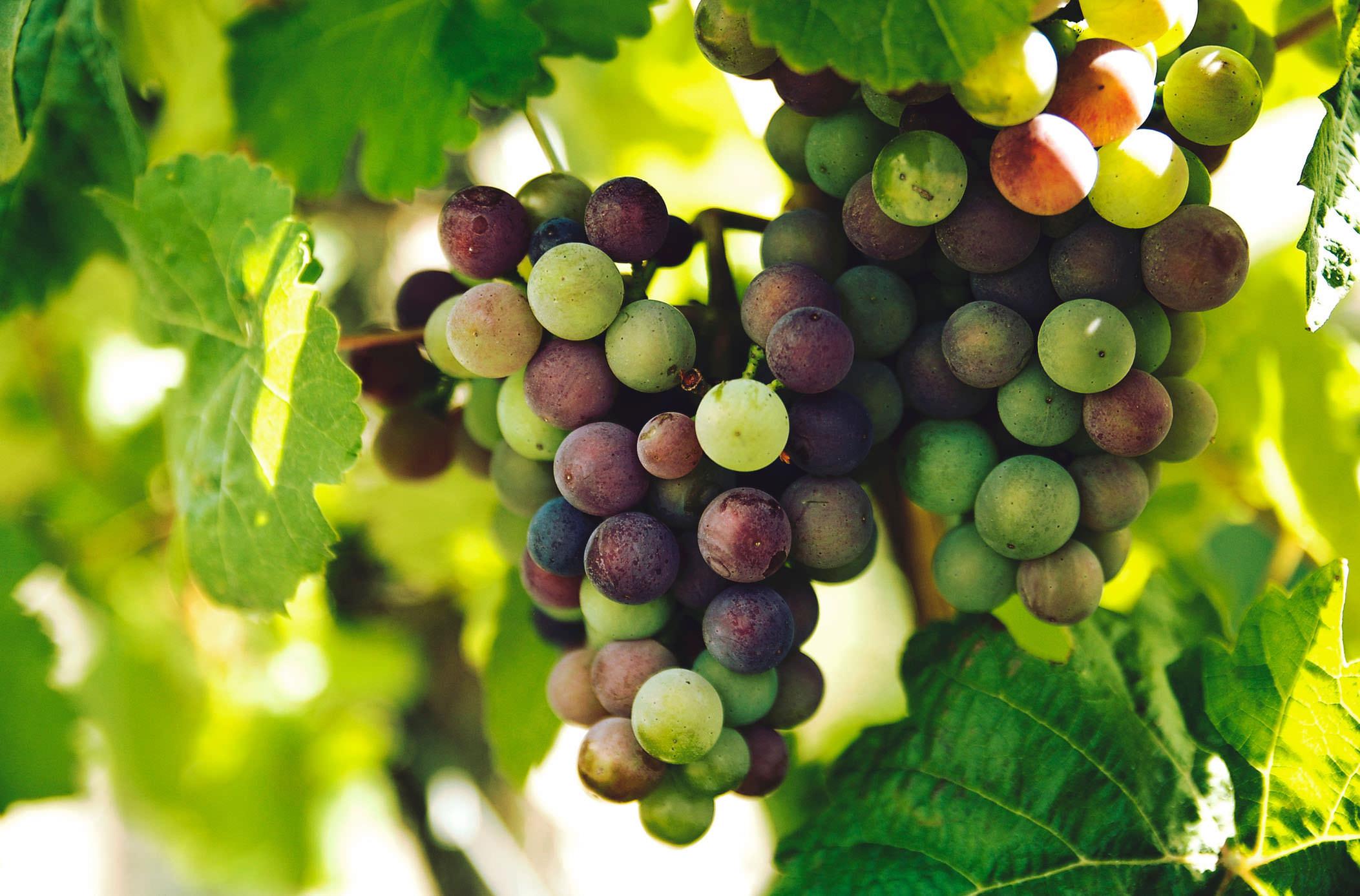 Грузинский виноград