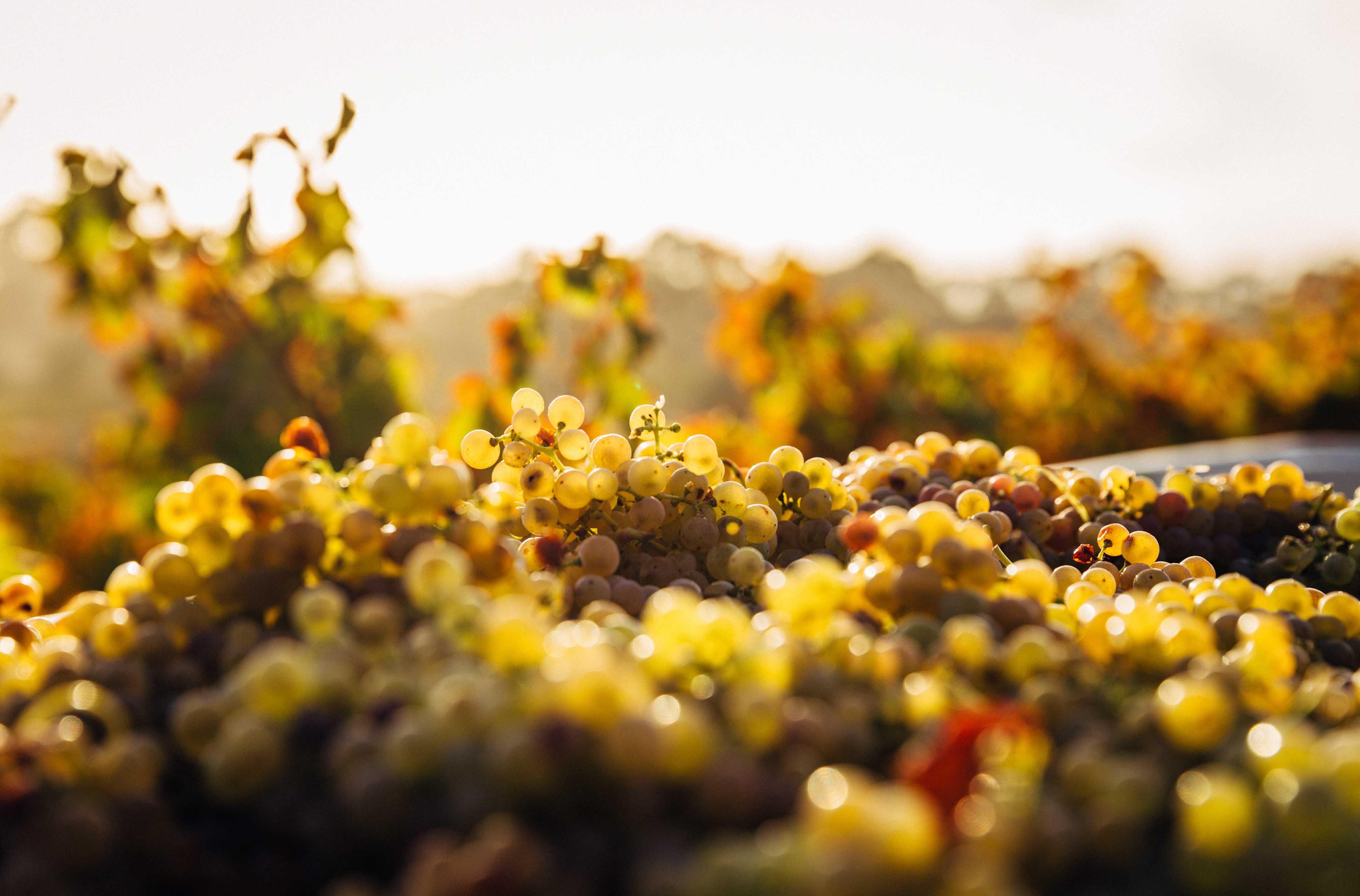 Грузинский виноград, Ртвели