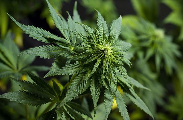 В Польше легализовали марихуану
