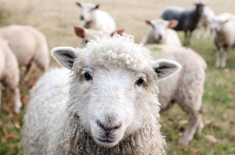 Власти Рима хотят привлечь овец и коров для ухода за газонами
