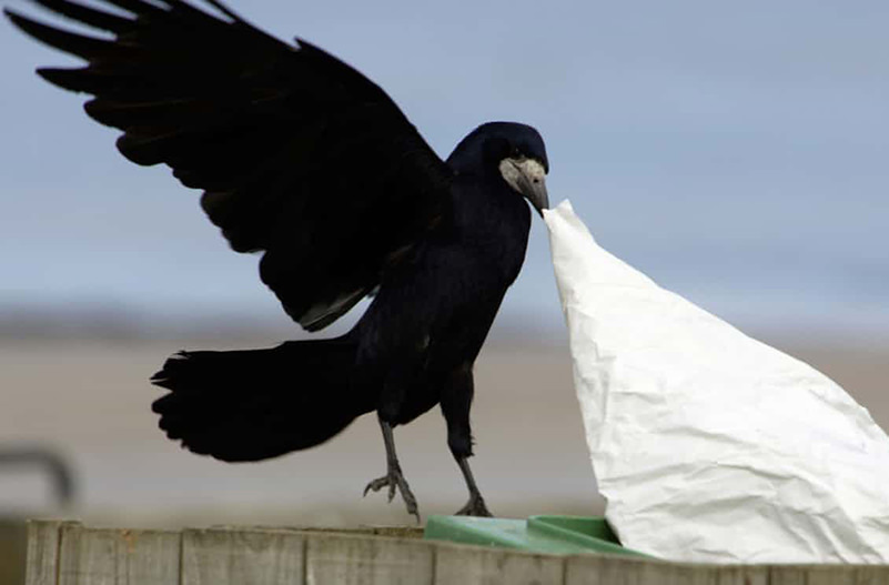Во Франции ворон учат убирать мусор