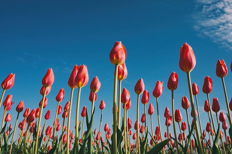 Парк тюльпанов в Милане переехал
