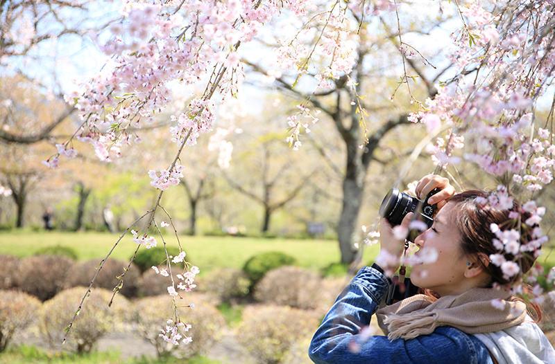 Ханой приглашает на фестиваль цветения сакуры