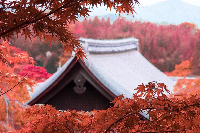 В Японии начался сезон красных клёнов
